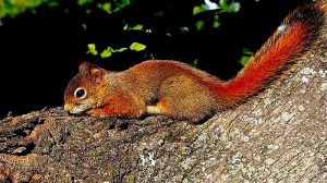 Red Squirrel Tamiasciurus hudsonicus