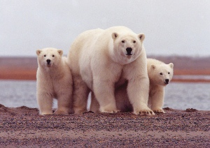polar bear FLICKR USFWS 5165301186_28667bde9b_z