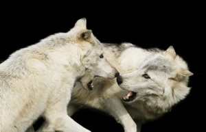 wolves Patrick Bouquet FLICKR CC 4692800709_acb24bfd38_z